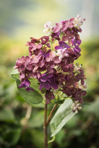 Lilacs - Short Stem