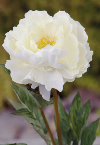 Peony Full Blown large Single