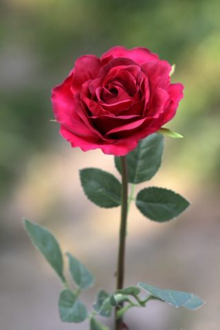 Rose - Hybrid Tea single