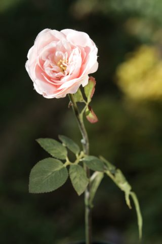 Rose _ Old English Med Single