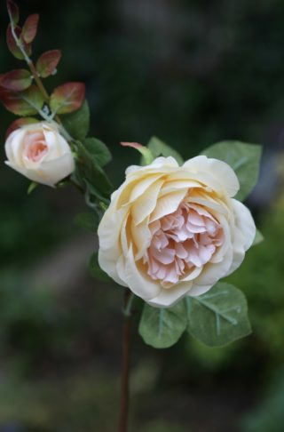 Rose - Old English with bud