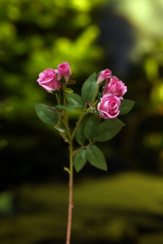 Rose Spray buds