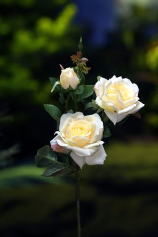 Rose Hybrid Tea Spray