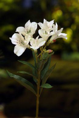 Alstroemeria Lily