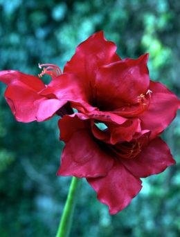 Amaryllis Large Head -Red