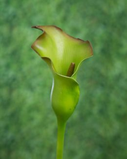 Arum Lily - Green