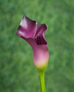 Arum  Purple