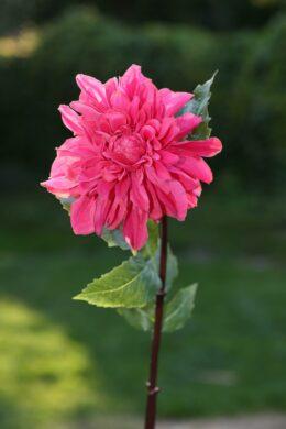 Dahlia Dark Pink Due in end October