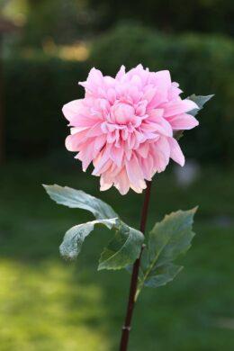 Dahlia -Light Pink Due End October