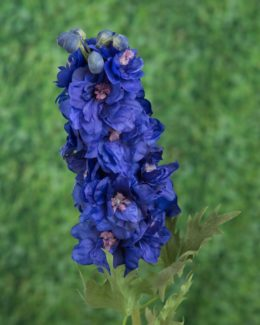 Delphinium Double Dark Blue