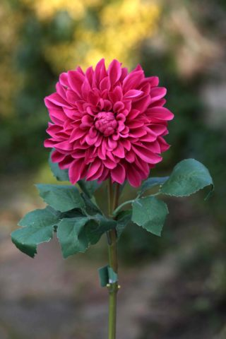Dahlia Dark Pink