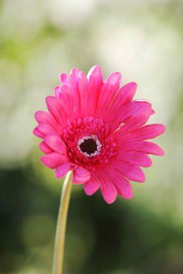 Gerbera Dark Pink