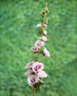 Hollyhock Lilac