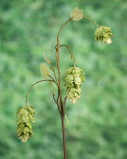 Hops Spray Green
