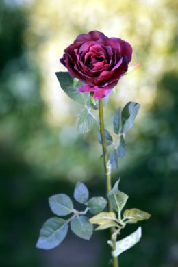 Hybrid Tea Rose  single Dark Red
