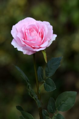 Hybrid Tea Rose - single Pale Pink