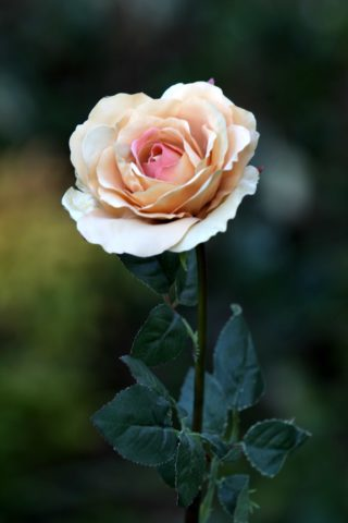 Hybrid Tea Rose - single Apricot