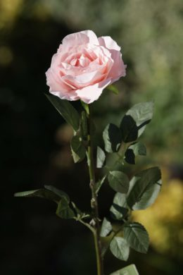 Hybrid Tea Rose - single Blush Pink