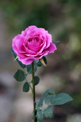 Hybrid Tea Rose - single Bright Pink