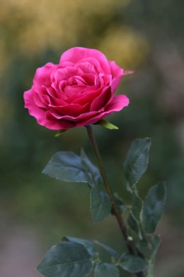 Hybrid Tea Rose single Dark Pink