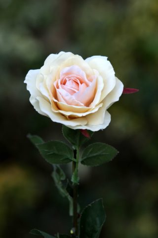 Hybrid Tea Rose single Pale Apricot