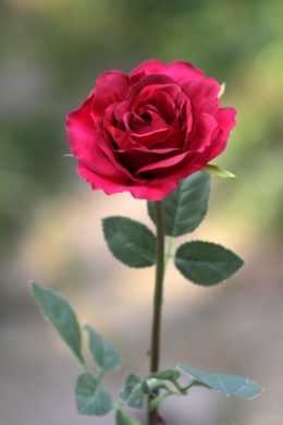 Hybrid Tea Rose - single Red