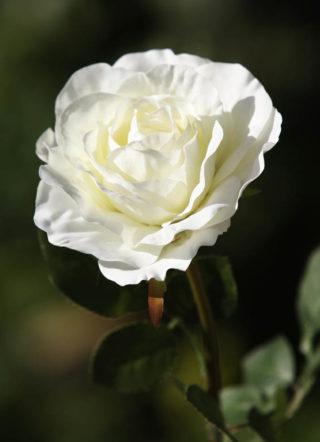 Hybrid  Tea Rose single Ivory