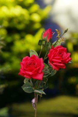 Hybrid Tea  Rose Spray Red
