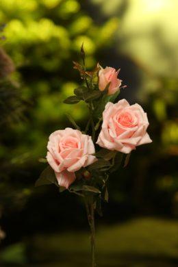 Hybrid Tea Rose Spray Light Pink