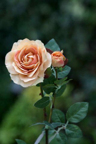 Hybrid Tea Rose with bud Apricot
