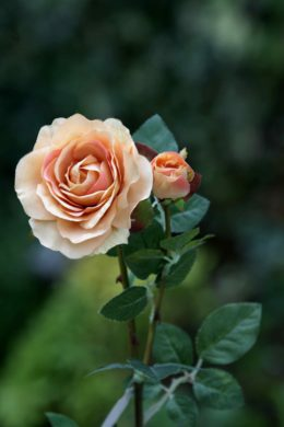 Hybrid Tea Rose with bud Apricot
