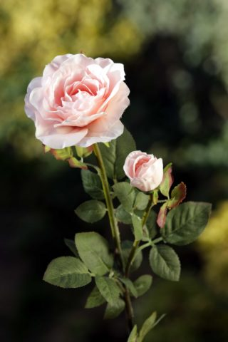 Hybrid Tea Rose with bud Blush Pink