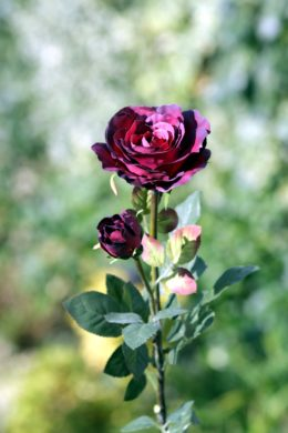 Hybrid Tea Rose with bud Dark Red