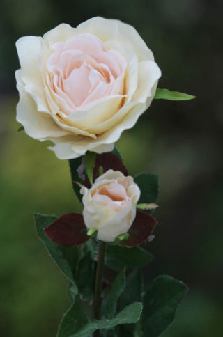 Hybrid Tea Rose with bud Pale Apricot