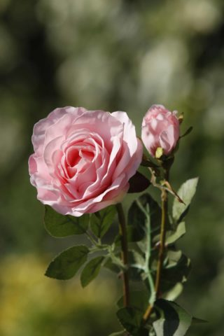 Hybrid Tea Rose with bud Pale Pink