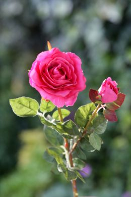 Hybrid Tea Rose with bud Bright Pink