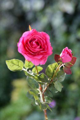 Hybrid Tea Rose with bud Bright Pink