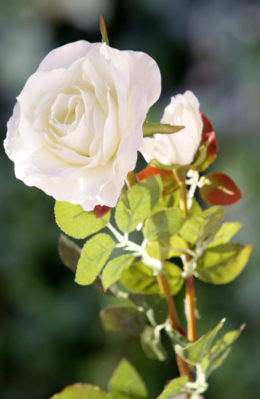 Hybrid Tea Rose with bud Ivory