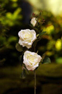 Hybrid Tea Spray Rose White