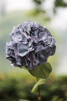 Hydrangea Grey Blue