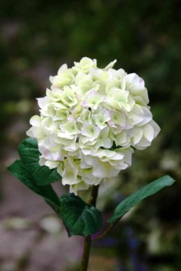 Hydrangea - Green  with a Touch of Pink