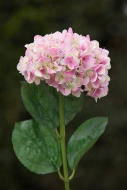 Hydrangea Mixed pinks