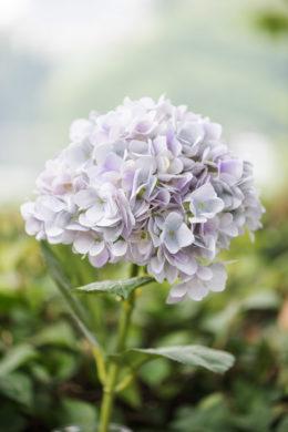 Hydrangea Pale Lilac
