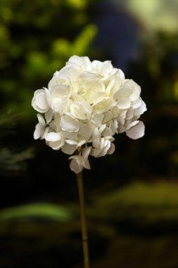 Hydrangea - Short Stem White