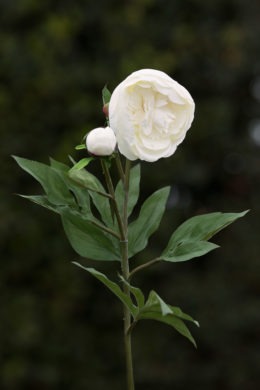 Peony - White -frilled petals with bud