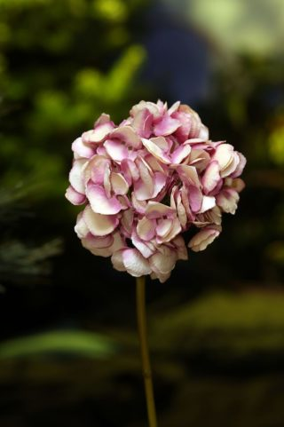 Hydrangea - Short Stem Shaded Pinks SOLD OUT