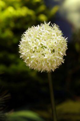 Allium - Ivory