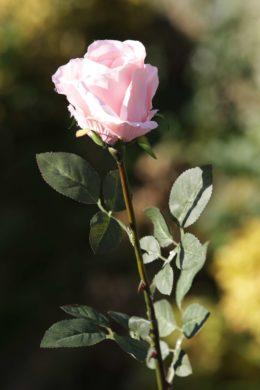 Rose Bud Large - Blush Pink