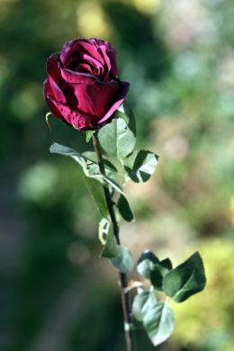 Rose  Bud Large - Dark Red