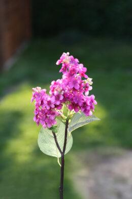 Lilac - Short Stem Dark Pink